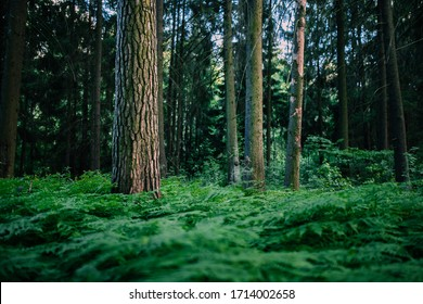 An old pine tree in a thicket of green ferns against the background of an evening summer forest