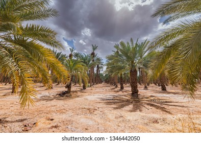 Old plantation of date palms, Middle East agriculture industry in desert areas