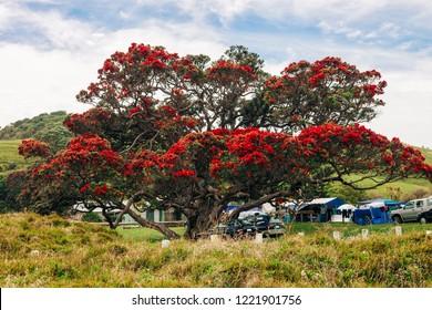 Old Pohutukawa Tree in bloom - Metrosideros excelsa in Whananaki, New Zealand
