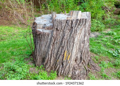 Old Poplar Tree Stump in the Forest