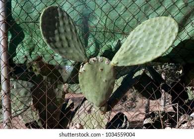 an old prickly pear cactus rabbit shaped, closeup