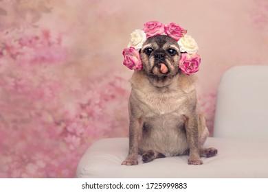 青い背景に舌を突き出して座っている老犬。 頭とピンクの花柄の背景に低下