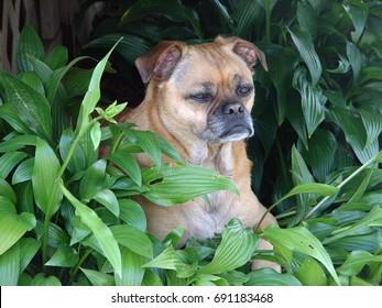Old puggle dog sitting amidst green leafy plants