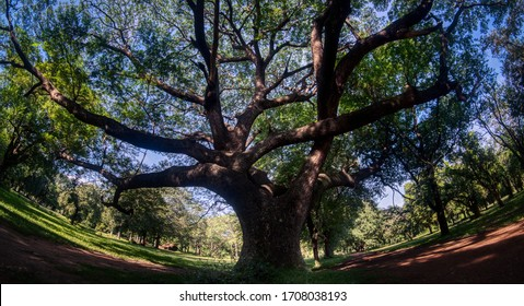 The old Rain Tree or Monkey Pod Tree (Samenea Senna) dominates the area with his branches. Wide view. Panorama with copy space.