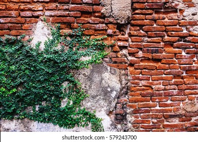 Old red brick wall with green ivy climber background