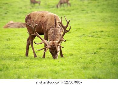 Old red deer (Cervus elaphus) stag grazing on the meadow.
