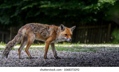 Old red fox