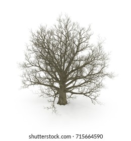 Old Red Oak Tree Winter on white. 3D illustration