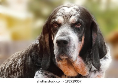 Old retired adult hunting dog or Bluetick Coonhound facing camera with wise expression outside