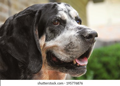 Old retired hunting dog or Bluetick Coonhound panting outside looking curious thoughtful hot