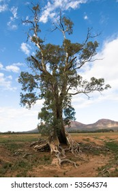 Old river red gum tree, (Eucalyptus camaldulensis), Flinders Ranges, Australia