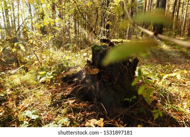 Old rotten stump in the forest. The lights of a sun.
