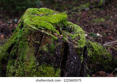 An old rotten stump in a forest. A tree stump covered with moss. (close-up)