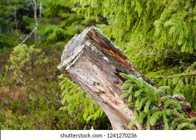 Old rotten tree stump in a coniferous forest