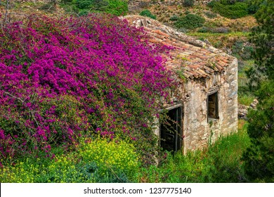 Old ruined abandoned farmhouse covered by a purple bougainvillea, in Syros island