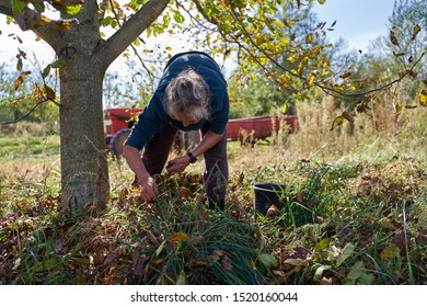 Old rural woman picking walnuts in an orchard