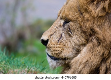 An old scarred male lion gazing in the distance