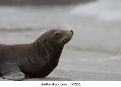 An old sea lion preparing to head out into the ocean at Pebble Beach, CA.