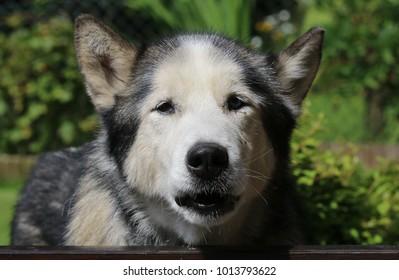 Old Siberian Husky