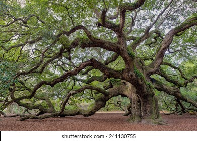 Old Southern live oak (Quercus virginiana) tree