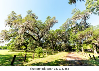 Old southern live oak trees in New Orleans Audubon park on sunny spring day with path trail and hanging spanish moss and green Tree of Life in Garden District
