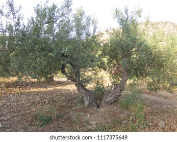 Old split olive tree in rural andalusian grove