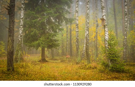 old spruce and birches in the autumn fog