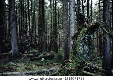Old spruce forest with tree stumps