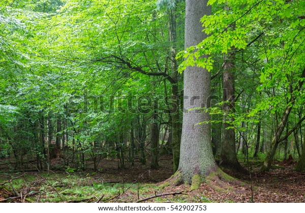 Old spruce tree against shady rich deciduous stand in summer sunset light, Bialowieza Forest, Poland, Europe