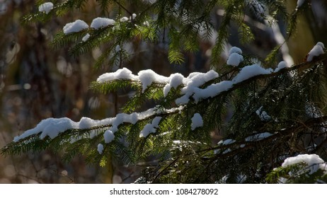 Old spruce tree branch in snowfall with branches snoww wrapped, Bialowieza Forest, Poland, Europe