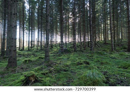 Old spruce tree forest with moss covered ground