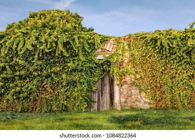 Old stone facade wooden door overgrown with ivy