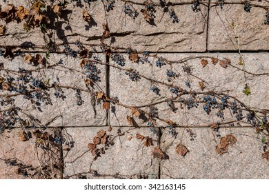 An old stone wall covered with drying wild grapes. Late autumn background