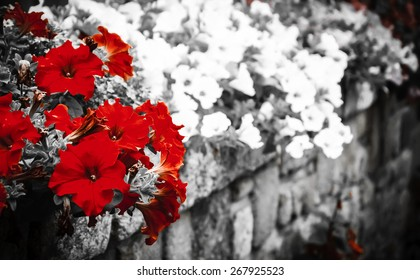 Old stone wall decorated with colorful petunia flowers. Brittany, France. Selective focus on the buds. Vignette. Retro aged photo.