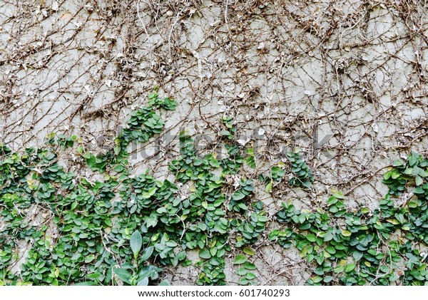 Old Stone Wall Ivy Backgroundivy Climbing Stock Photo Edit