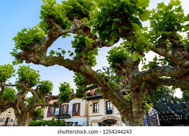 The old street of Guernica in Basque country. Cityscape of Spanish town. Trees with green leaves on the street of Guernica. Trees against blue sky on the town's street.