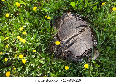 The old stump around which grows green grass and yellow flowers. A good comparison of the old and the young, the dead and the living