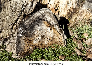 The old stump of the tree in nature