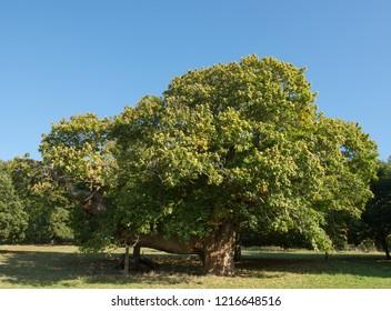 Old Sweet Chestnut Tree (Castanea sativa) in a Park in Rural Devon, England, UK