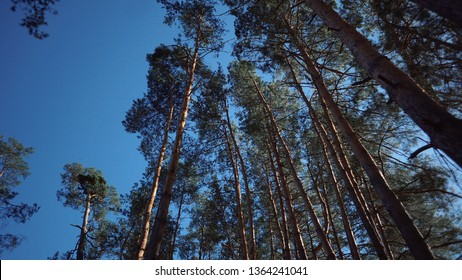 Old tall pines (pinery) sway in the wind against the sky. Tree trunks swaying, hissing branches. In autumn, spring in sunny weather.