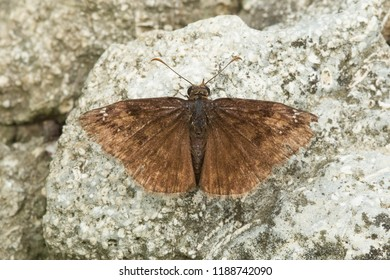 An old and tattered Wild Indigo Duskywing Butterfly is resting on a rock. Edwards Gardens, Toronto, Ontario, Canada.