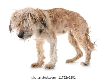 old tibetan terrier, eighteen years old, in front of white background