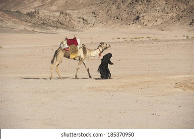 Old traditional egyptian bedouin woman walking with a dromedary camel in the eastern desert