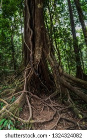 An old tree with amazing roots in Daintree National Park, Australia