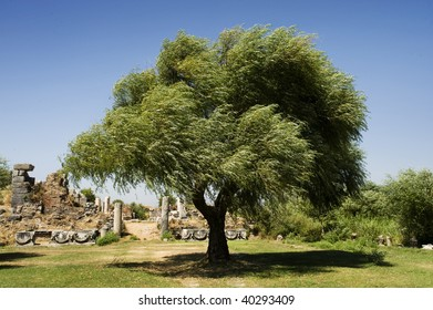Old tree in the ancient Roman and Greek city of Ephesus