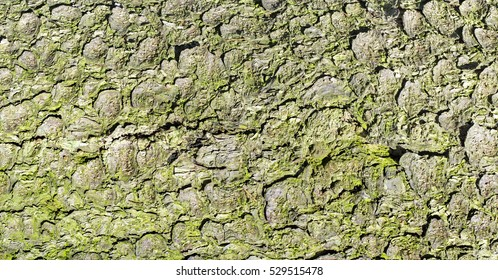 Old tree bark covered green lichen.Nature texture