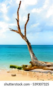 Old tree at the beach, with the caribbean sea as backgorund