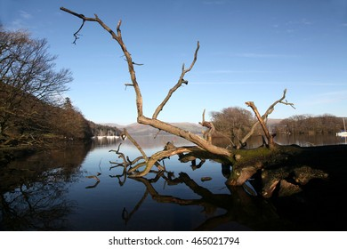 An old tree blown down in a winter storm reflected in a mirror calm lake