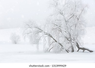 Old tree covered with hoarfrost in a foggy landscape
