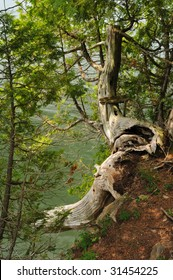 Old tree hanging on to cliff over lake